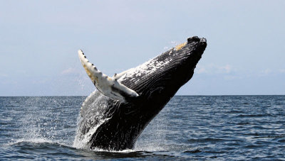 Humpback Whale: Tubercle flipper in foreground